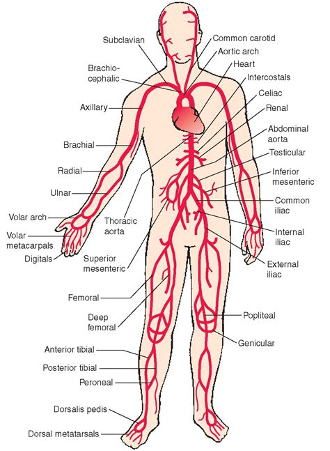location of liver in human body picture 5