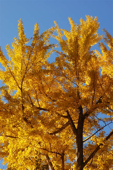 ginkgo trees picture 5