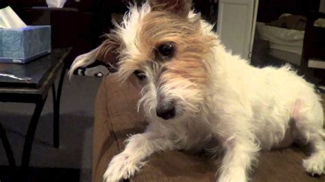 wire hair terrier rescue picture 9