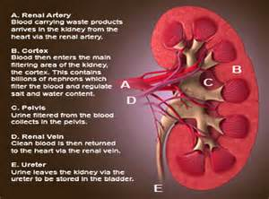 kidney above bladder picture 7