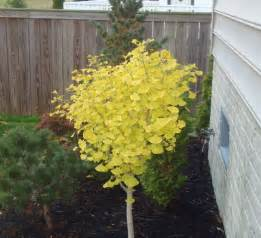 ginkgo trees picture 3