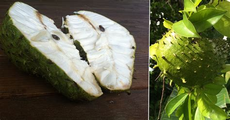 guanabana for acid reflux picture 3
