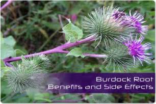 burdock root side effects picture 2