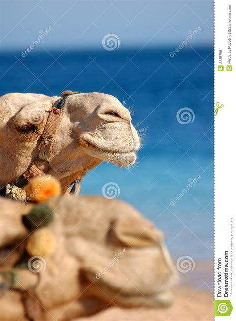 camel tooth symbolism picture 18