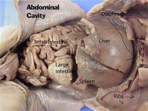 fetal pig digestion system picture 2