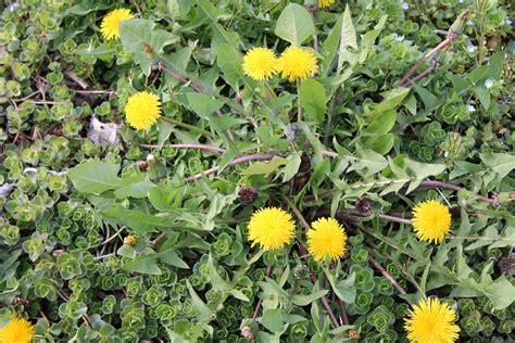 dandelion weeder picture 3