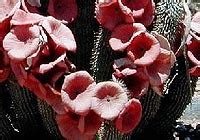 warnings about hoodia picture 18
