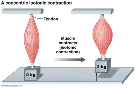 and isotonic muscle contraction picture 18