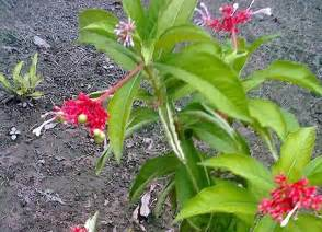 uses of serpentina herbal medicine picture 13