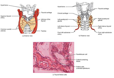 thyroid glands picture 5