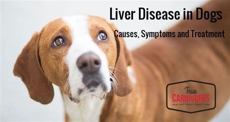 canine liver disease picture 14