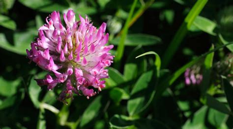 search : info about red clover tea picture 13