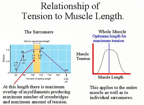 definition of passive muscle tension picture 13