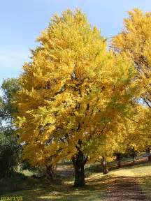 ginkgo trees picture 6