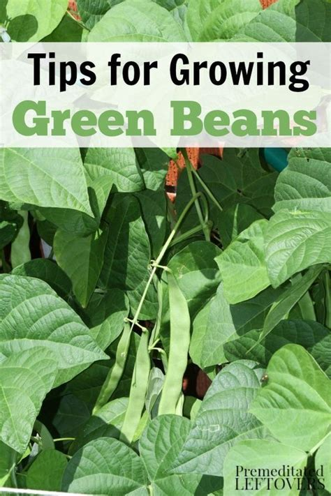 green beans increase penise picture 3