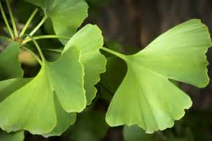 ginkgo picture 5