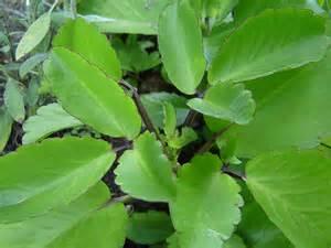 health benefit of katakataka picture 2