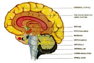 brain parts causing low testosterone picture 2