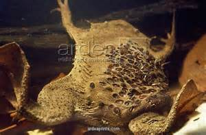 toads that deliver babies through skin on back picture 1