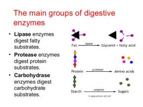 enzymes for digestion picture 1