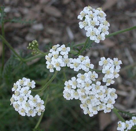 yarrow root picture 10