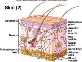 integumentary system skin model picture 2