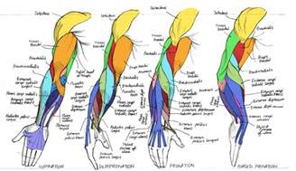 forearm muscle anatomy picture 10