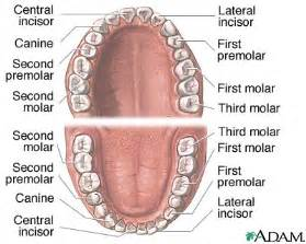 anatomy of the teeth picture 6