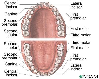 anatomy of the teeth picture 9