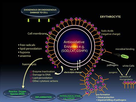 anti bacterial oxidant prostais treatment picture 5