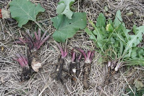 Burdock Root picture 10