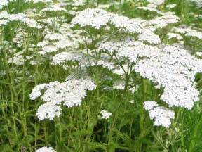 benefits of white yarrow essence picture 5