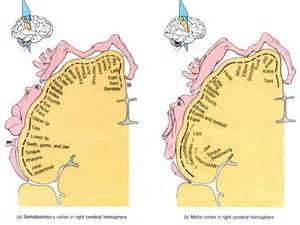 cerebral blood flow motor cortex picture 6