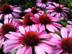 benefits of echinacea & goldenseal picture 7