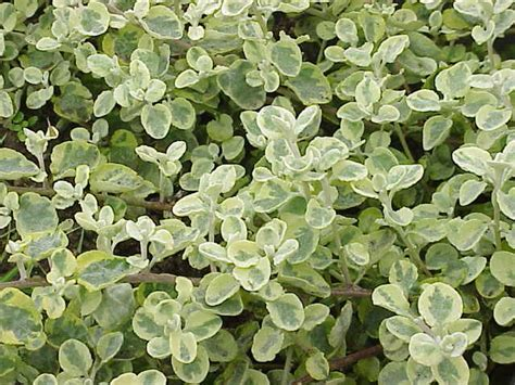 care for licorice plant picture 14