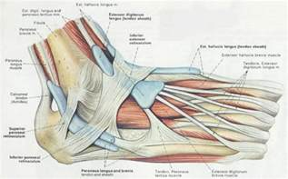 ankylet muscle picture 15
