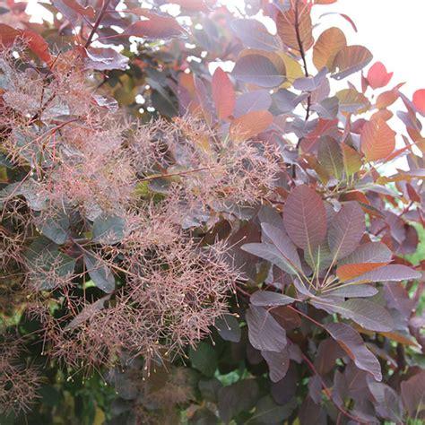 pruning smoke tree picture 7