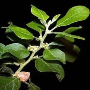 erectile dysfunction phillipine herbal plant picture 5