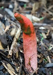 penis fungus picture 3