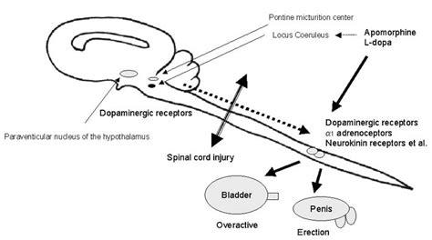quadriplegic erection picture 2