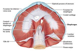 diaphram muscle for breathing picture 1