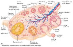 ovarian cyst and cholesterol picture 6