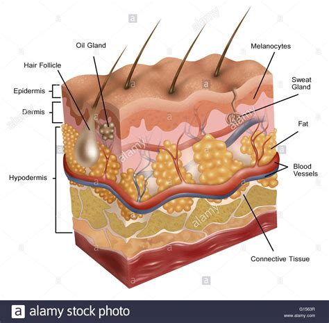 cross section of human skin picture 18