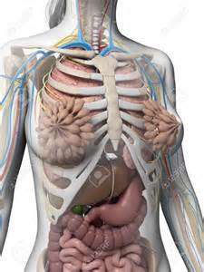 women + anatomy + liver picture 2