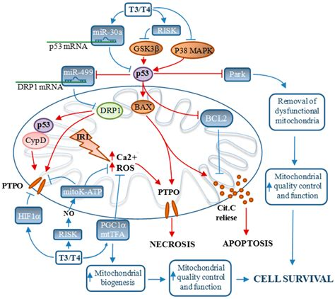 testosterone cardiac function picture 3