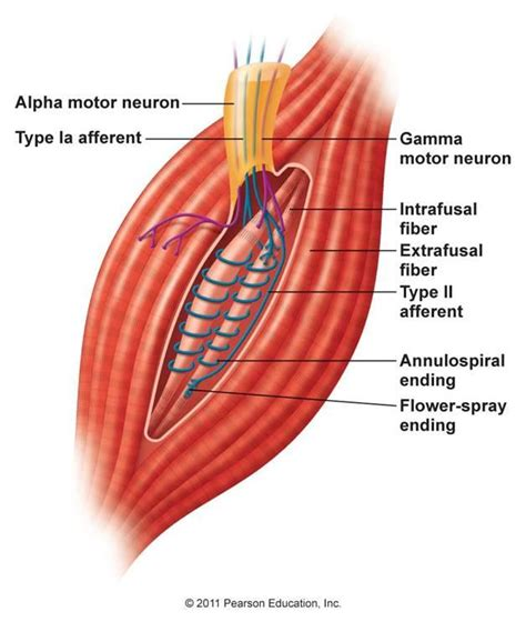 alpha receptors and skeletal muscle picture 13