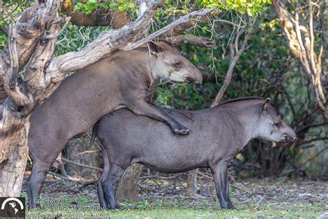 tapir sex picture 1