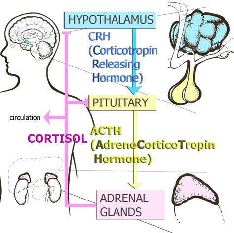 affects of aging on the adrenal cortex picture 3