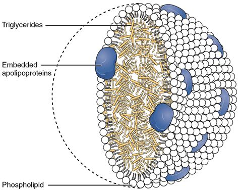 Triglycerides cholesterol picture 7