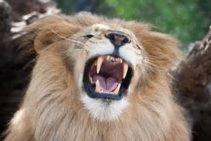lion teeth picture 7